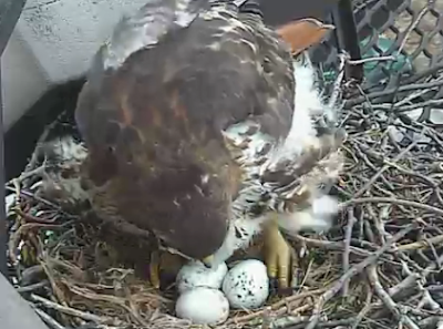 'Big Red' turning her eggs