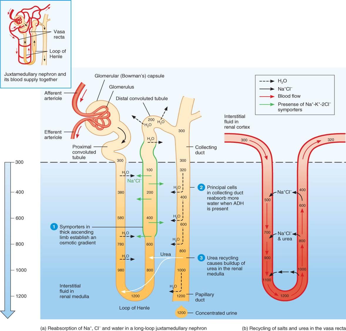 Fisiología: Tema 9. Formación de la orina