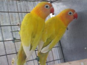 Personatas Amarelos