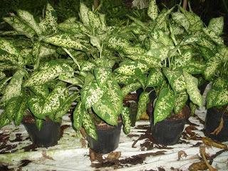 Plantas y flores plantas especies plantas ornamentales for Algunas plantas ornamentales