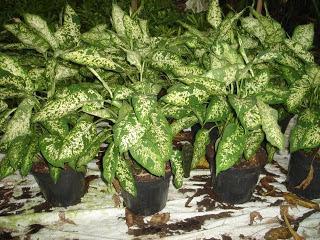 Plantas y flores plantas especies plantas for 2 plantas ornamentales