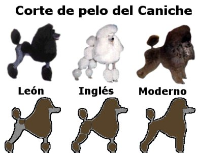 Perros French Poodle O Caniche