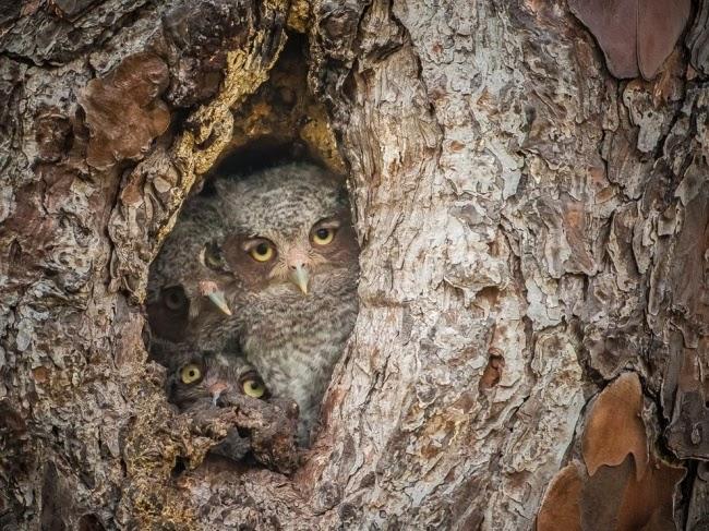 Восточные малые ушастые совы кроются в гнезде дятла, которое они заняли на территории одного из болот. Эти маленькие птицы достигают в высоту от 8 до 10 дюймов, так что у вас должно быть хорошее зрение, чтобы заметить их. © Грэхам Макджордж