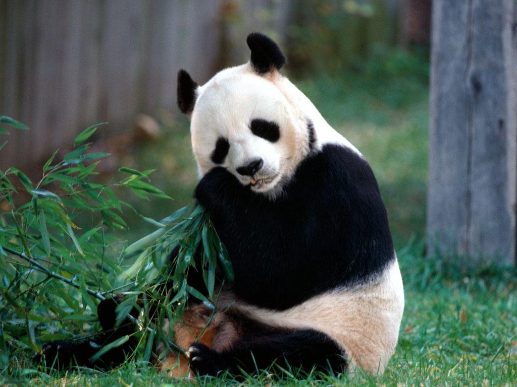Funny panda wallpapers funny photos funny mages gallery keywords funny panda wallpapers funny panda desktop wallpapers funny panda desktop backgrounds funny panda paos funny panda images and pictures voltagebd Choice Image