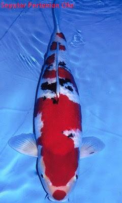 Jenis Ikan Koi Terbaik dan Termahal