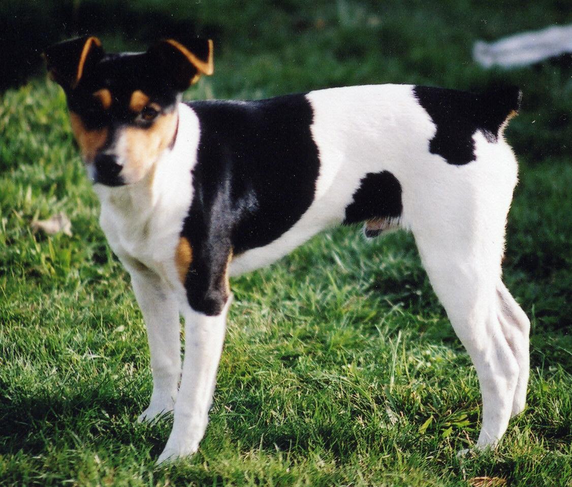 Rat Terrier (Feist) Review ~ Bullcatdog