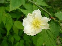 珍しい白い山吹の花