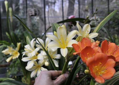 growing with plants  clivia season arrives