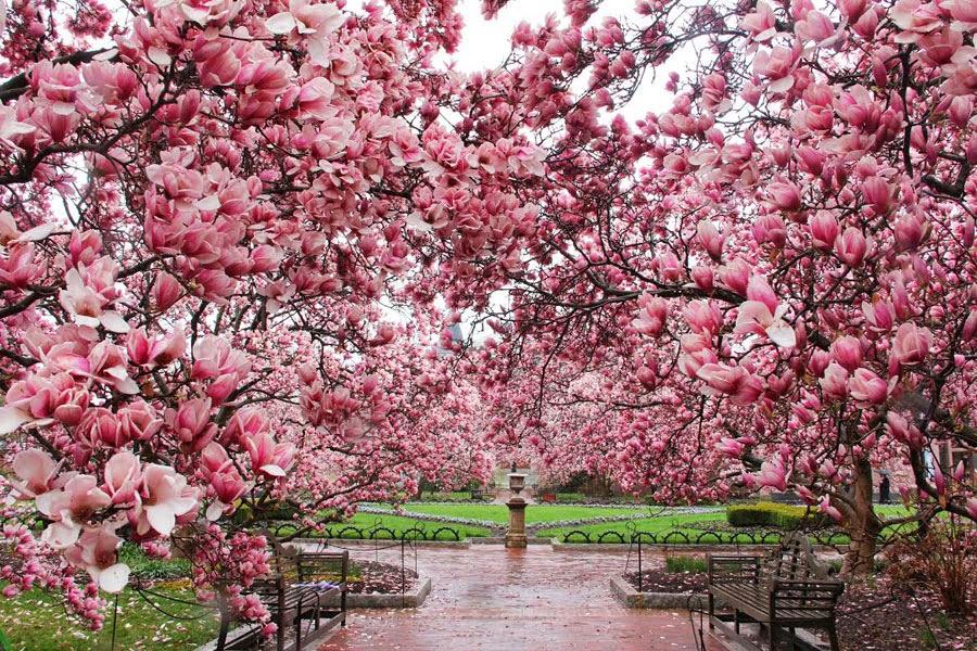 Evening Photo Cherry Blossoms Magnolia Trees Blazing Cat Fur