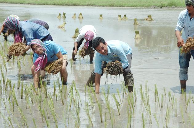 Repiquage du riz à Kampong Speu