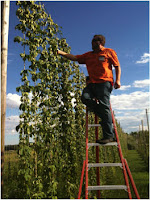 Dave Mentus picking fresh hops