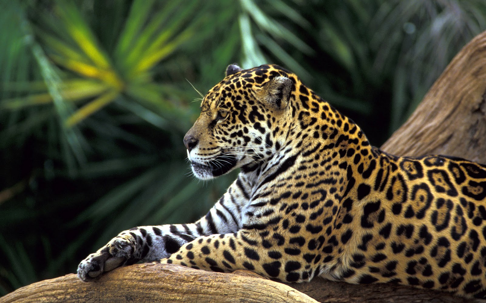 http://1.bp.blogspot.com/-7ZlcEmTqMaM/T-qNvI2-JdI/AAAAAAAAIsU/VQ1Zv6XyqU0/s1600/brazil-leopard-jungle-windows7-theme.jpg