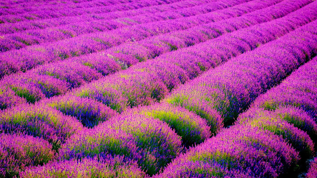 Lavender flowers field HD Wallpaper