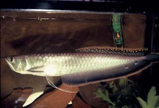 arowana silver fish freshwater pets