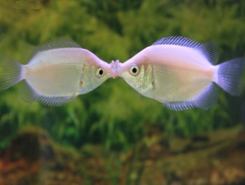nature lover kissing gourami