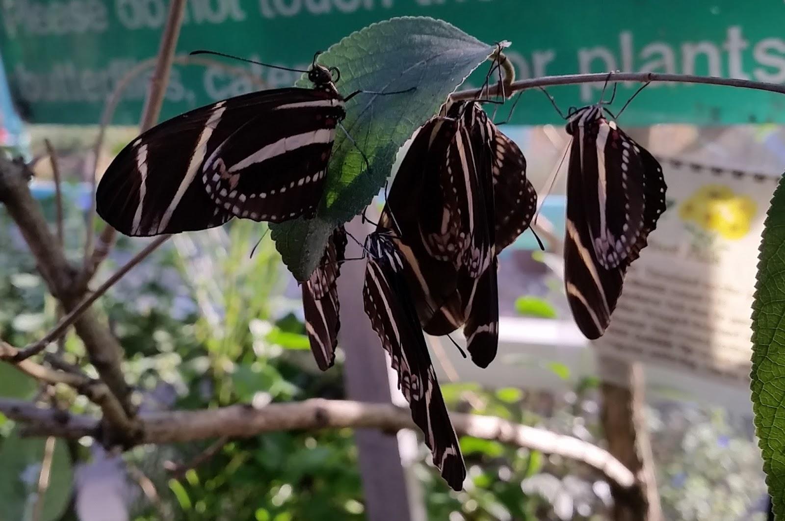 Communal Roosting In Butterflies