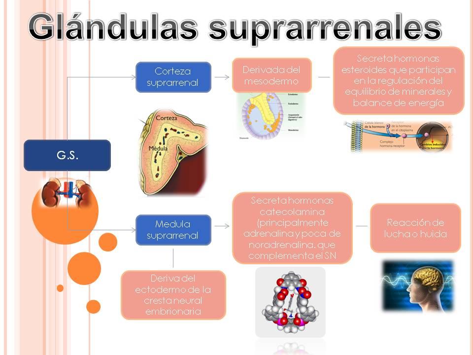 Vistoso Ubicación De La Glándula Suprarrenal Componente - Imágenes ...