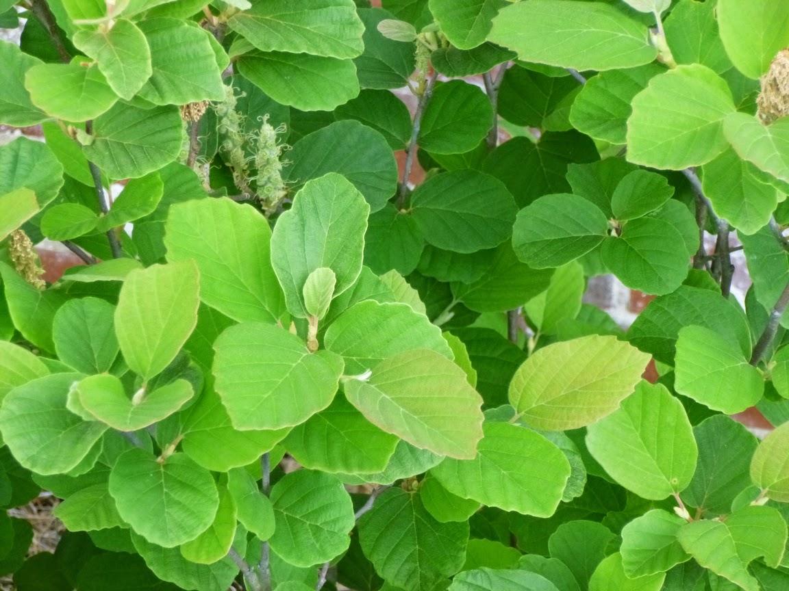Fothergilla gardenii foliage