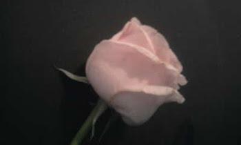 Uma rosa linda!