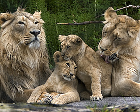 Family Lion In Zurich Zoo
