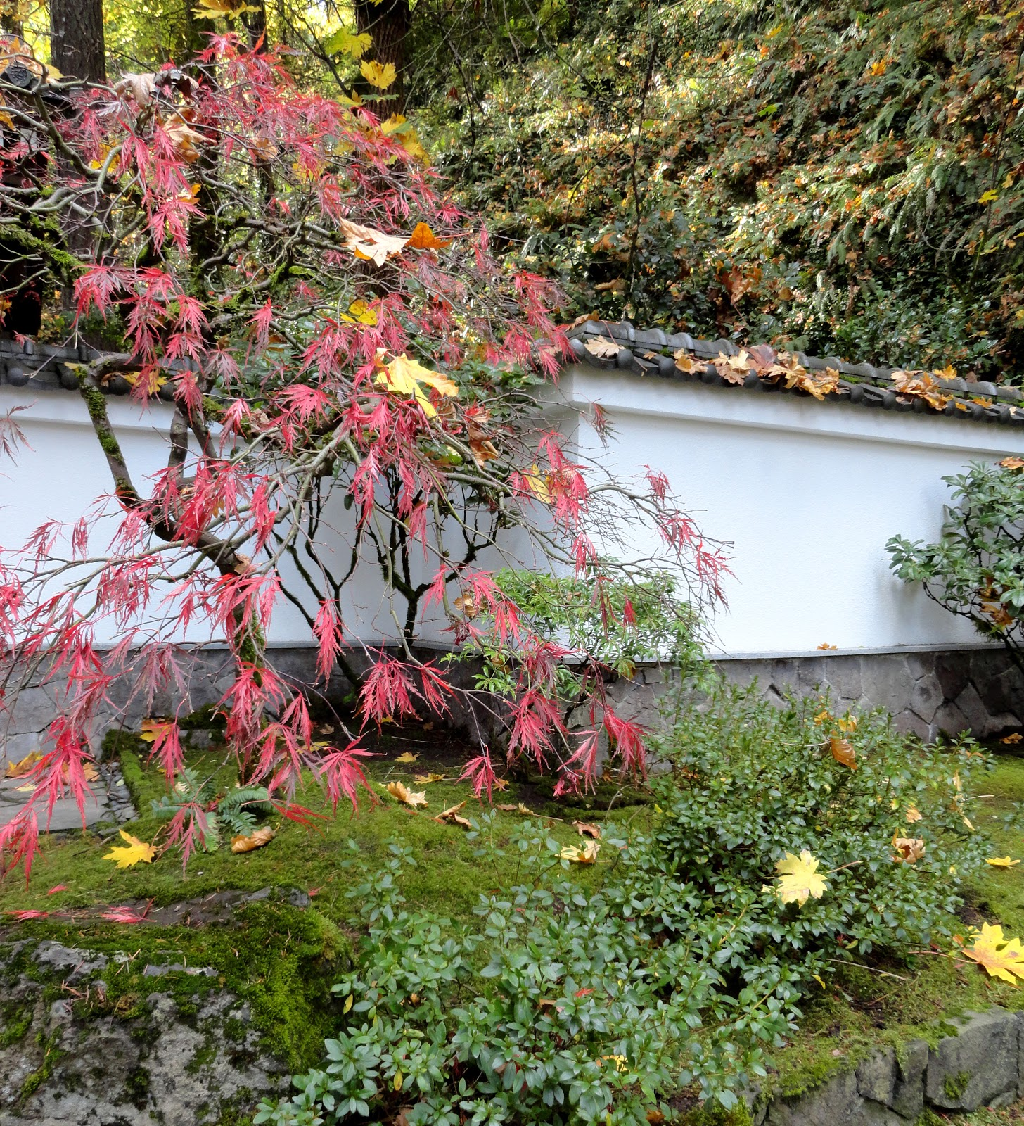 Japanese Garden: Danger Garden: Foliage Follow-up For November Hits The