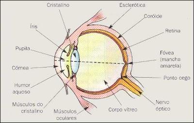 Organização estrutural das partes do olho humano