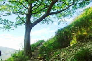 Roble a la vera del sendero