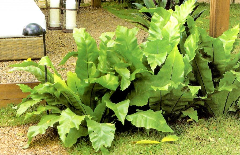 plantas jardins sombreados : Karla Santos Paisagismo: SAMAMBAIAS: DINAMISMO NOS JARDINS