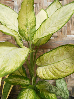 tropical plant with green-yellow stripes