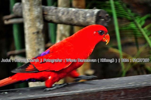 Judul : Burung Merah / Burung Parkit || Fotografer : Wisnu Darmawan ( Klikmg3 ) Fotografer Purwokerto