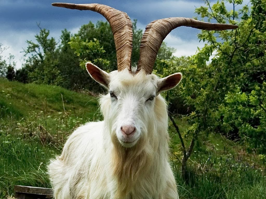 beautiful animal goat wallpapers hd desktop wallpapers