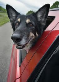 cão passeando de carro