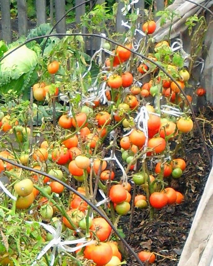 Мои помидорки