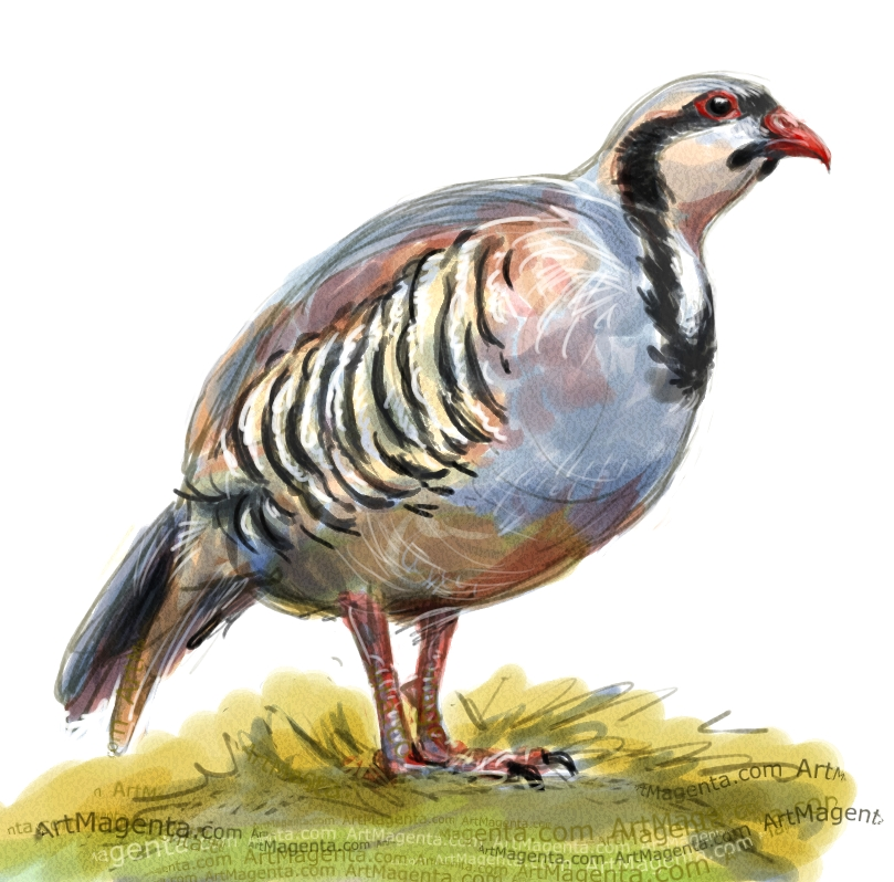 Chukar Partridge sketch painting. Bird art drawing by illustrator Artmagenta