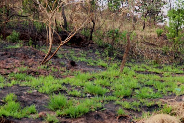 Rebrota da vegetação rasteira poucos dias após a queimada