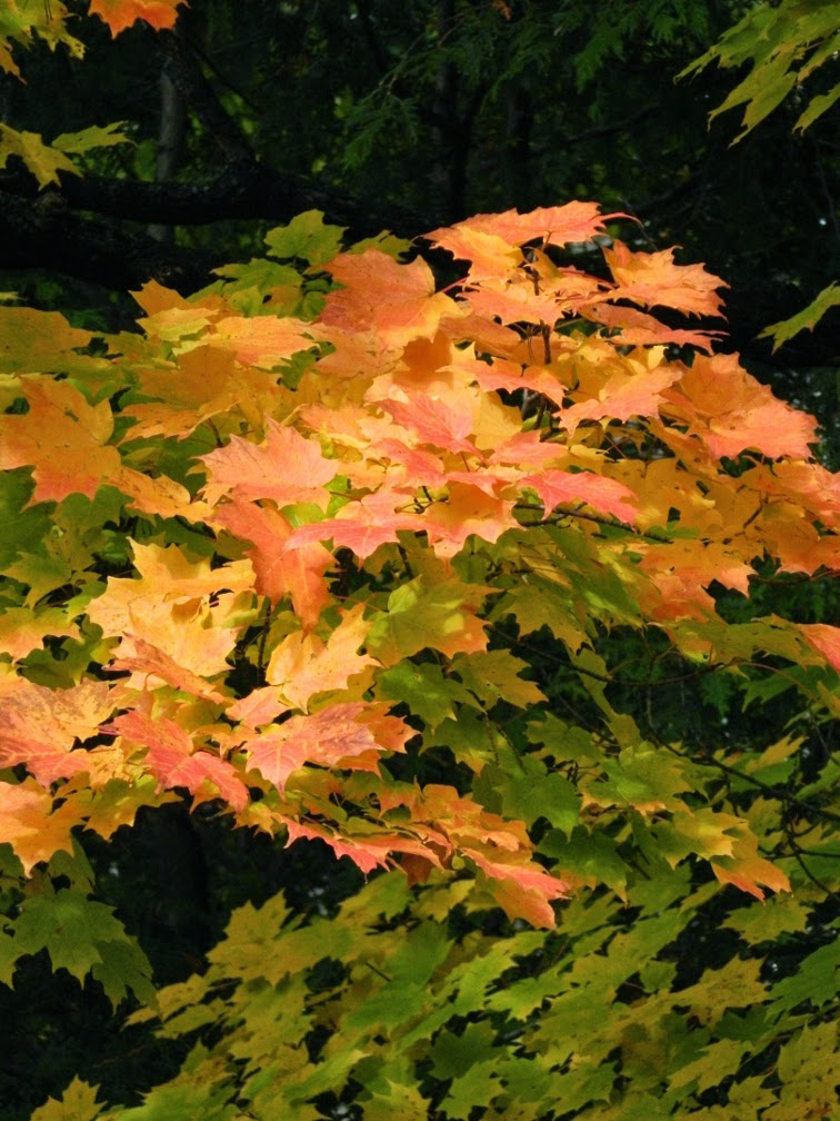 Sugar maple Acer saccharum autumn foliage by garden muses-not another Toronto gardening blog