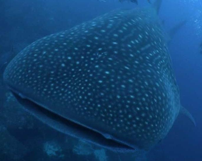 Philippine_Traveler: Donsol - WHALE SHARK Capital of the World
