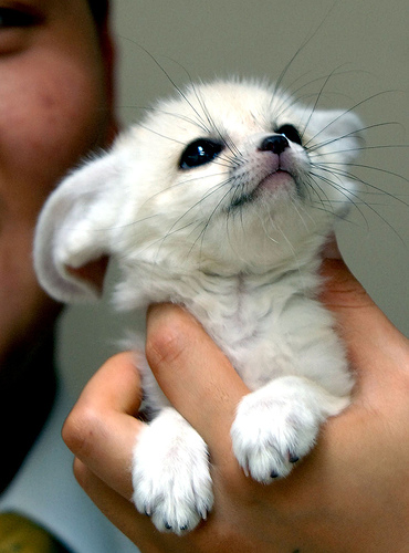 For Spotty and Wolves. Cute_baby_fennec_fox