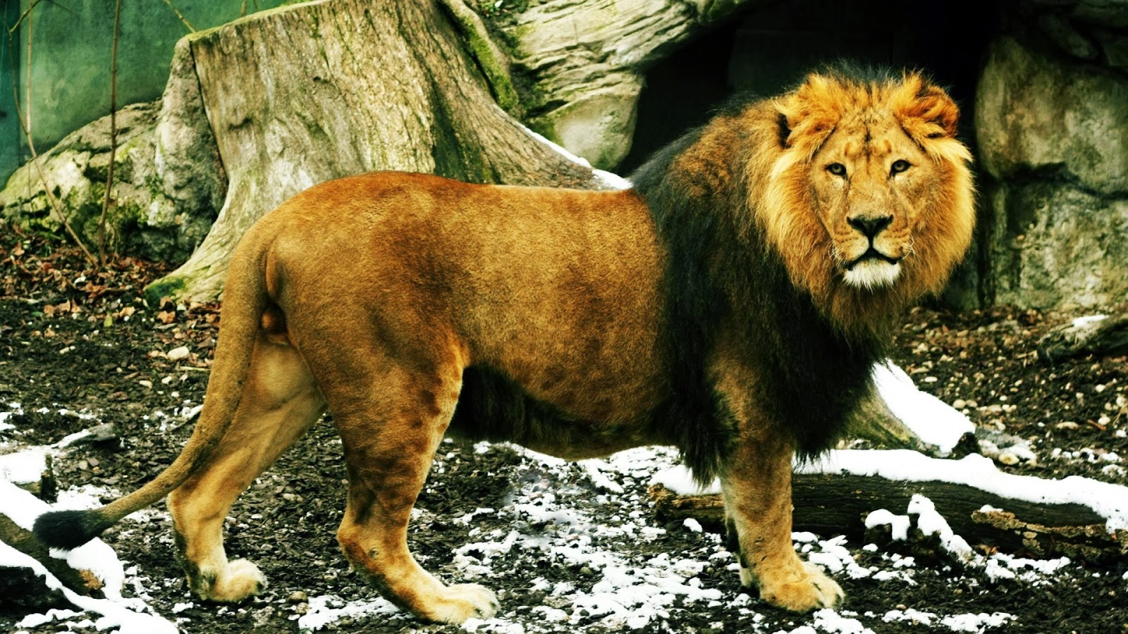 Popular Wallpaper Lion Facebook - lion+wallpapers+hd+(4)  Picture_99335.jpg