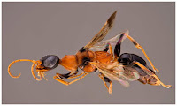 http://sciencythoughts.blogspot.co.uk/2014/06/a-new-species-of-cockroach-wasp-from.html