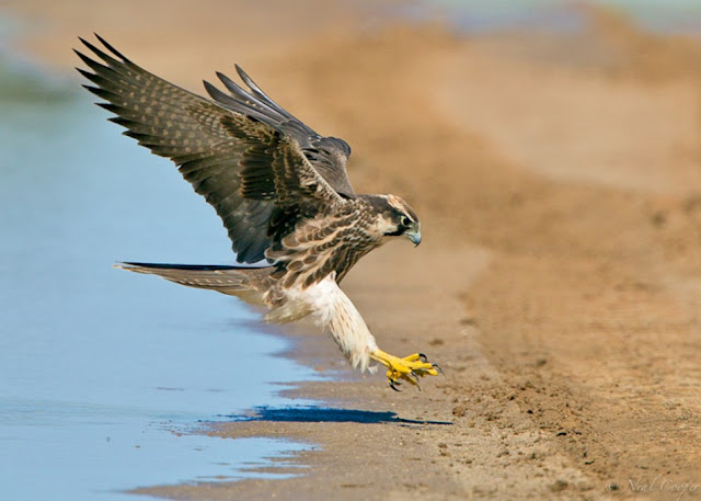 Lanner-Falcon-Neal-Cooper