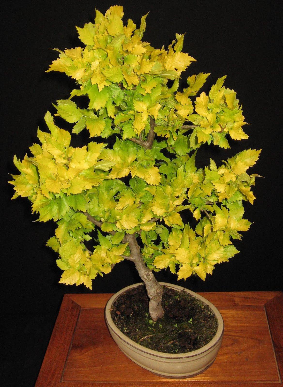 bonsai das sch nste hobby der welt ulmus carpinifolia. Black Bedroom Furniture Sets. Home Design Ideas
