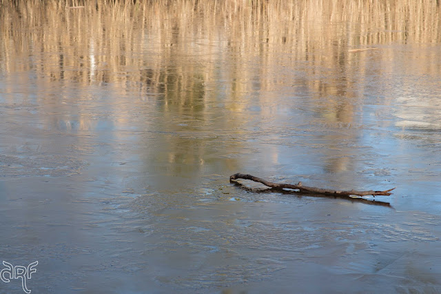 branch on ice