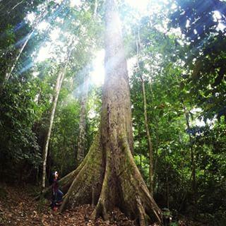 Pokok tropika tertinggi di dunia