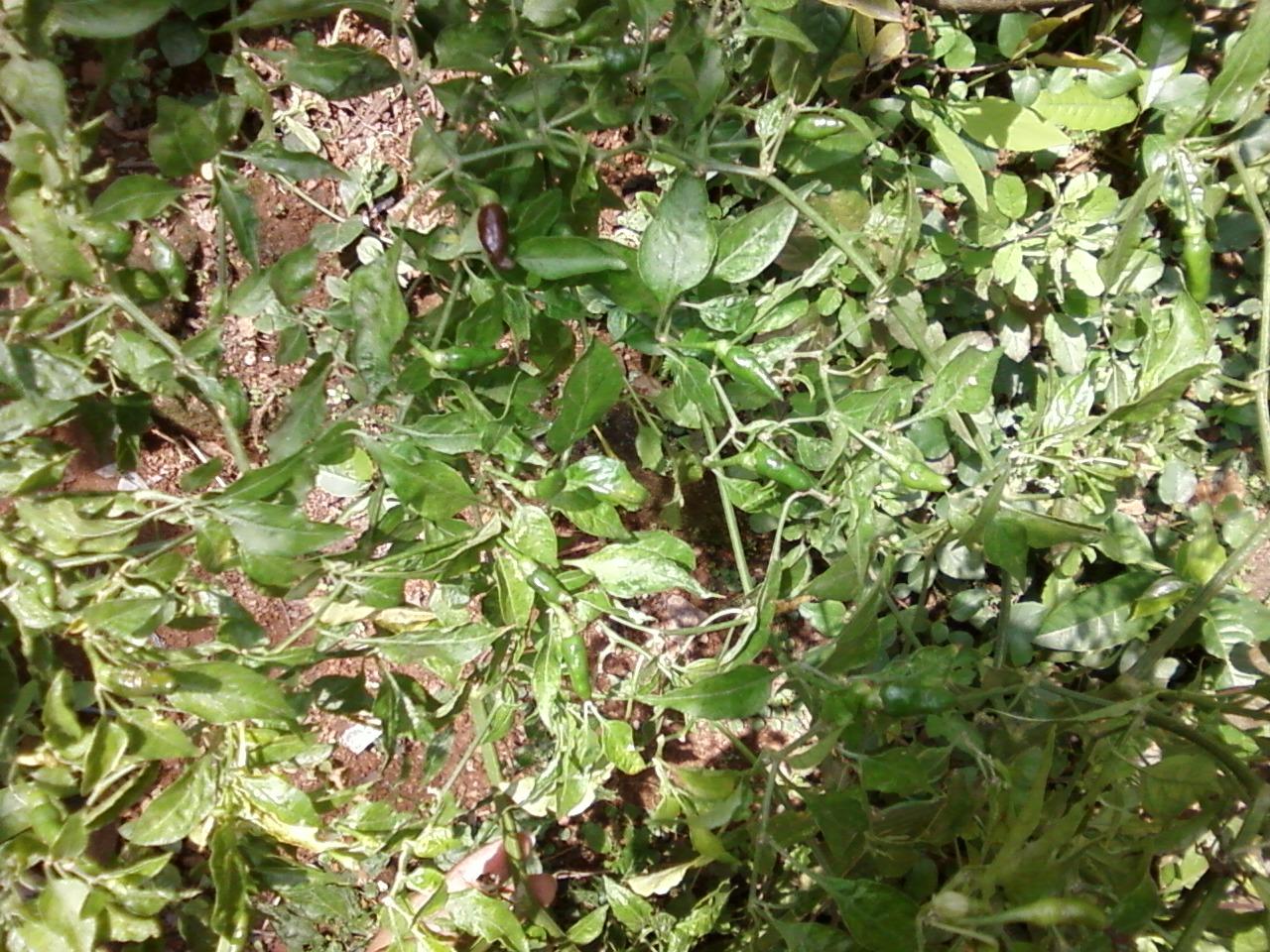 Teen 39 S Kitchen Garden Kanthari Chilly Seeds To Seedlings