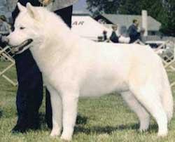 Foto Anjing Siberian Husky Putih