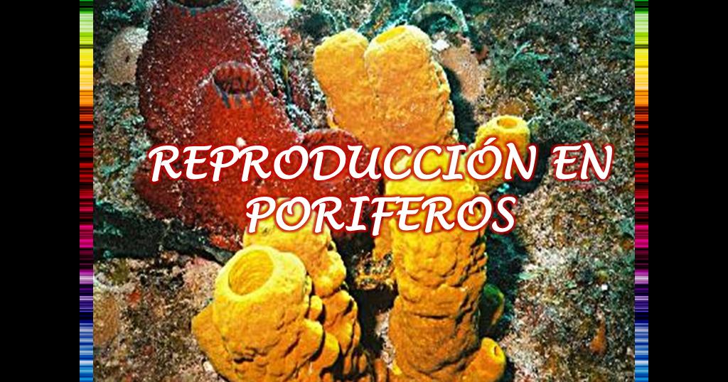 Reproducción en Poriferos | ENIGMAS DE LA VIDA