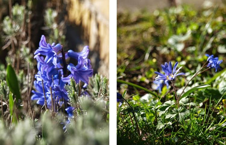 Blå forårsblomster starter foråret i haven