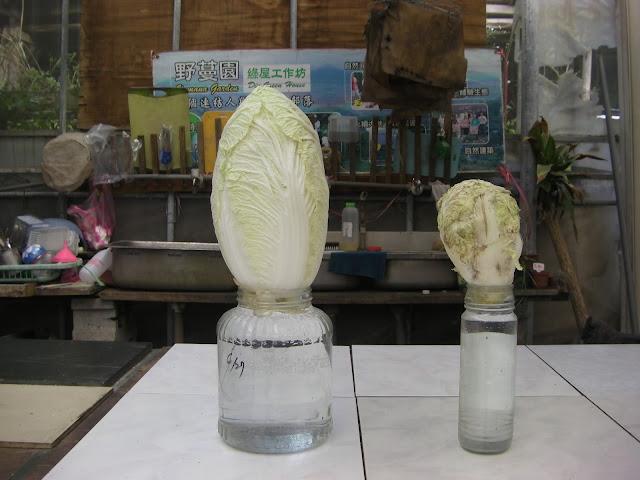 將白菜插在水罐中