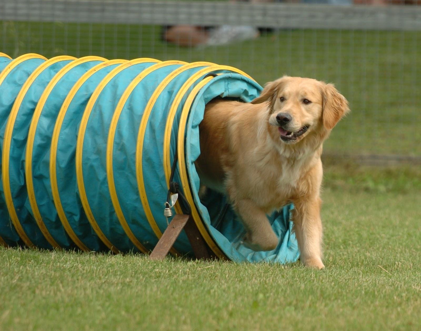 Dog Training The Agility